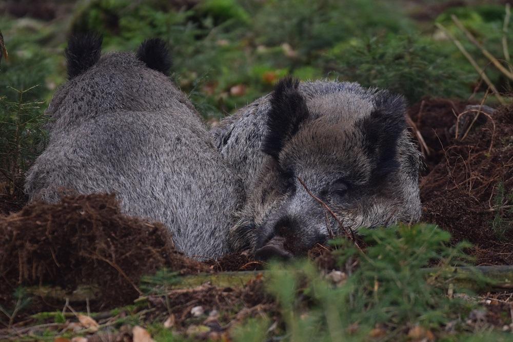 Brauchbare Jagdhunde sind bei der Bejagung von Wildschweinen unerlässliche Helfer (Foto: M.Börner/ LJV SH)