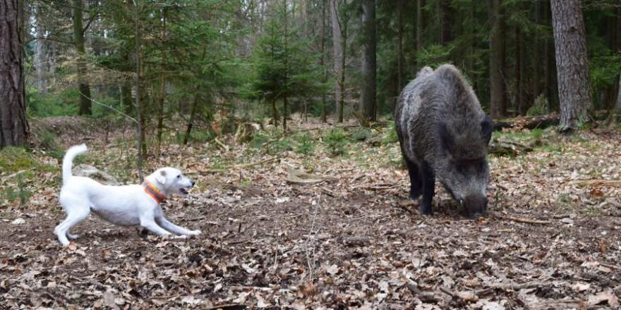Terrier stellt ein Stück Schwarzwild (Foto: M. Börner, LJV SH)