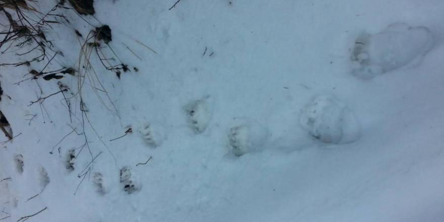 Bestätigter Hinweis auf einen Braunbären durch Trittsiegel im Schnee (Quelle: Bayerisches Landesamt für Umwelt)
