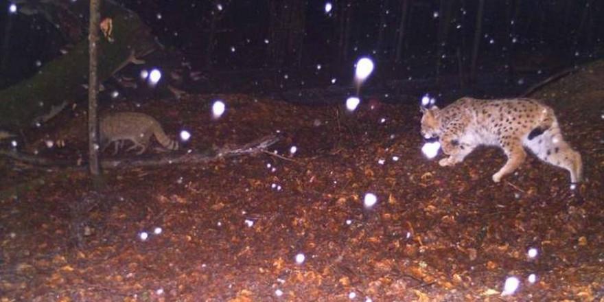 Eine Aufnahme, die im Rahmen des Monitorings gemacht wurde, zeigt eine seltene Situation: Einen Luchs, der einer Wildkatze auf der Spur ist.  (Foto: Nationalpark Bayerischer Wald)