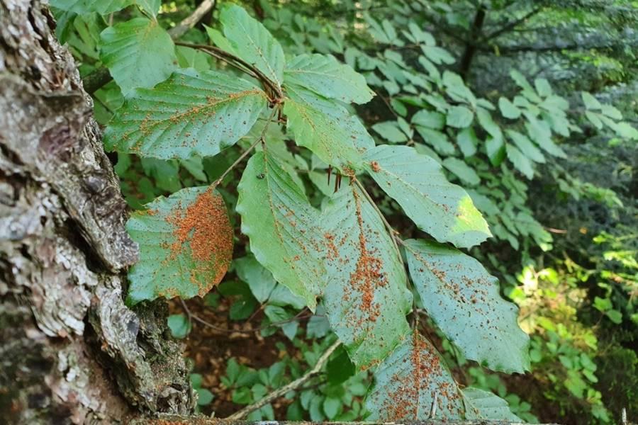 Frisches braunes Bohrmehl in Rindenritzen und am Fuß der Bäume oder – wie hier im Bild – auf Blättern im Stammbereich sind der wichtigste Hinweis auf frischen Borkenkäfer-Befall: Jetzt muss gehandelt werden. (Foto: © René Klabes)