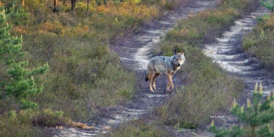 Symbolbild Wolf (© LfULG/Archiv Naturschutz/A. Gomille)