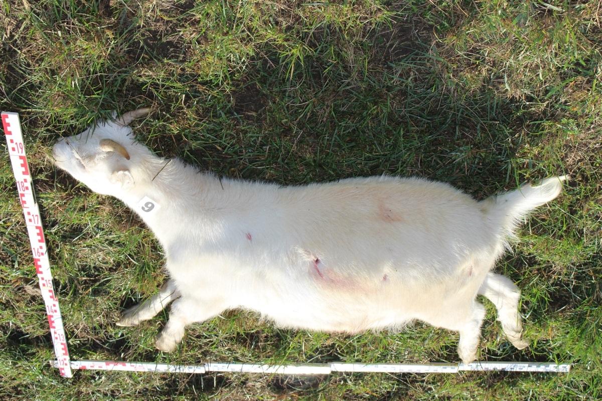 Eine der getöteten Ziegen mit sichtbaren Einschüssen (Quelle: Landespolizeiinspektion Jena)