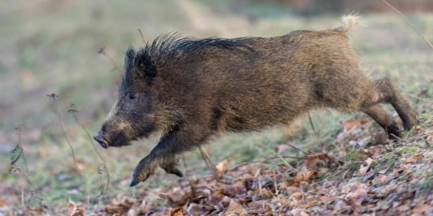 Der DJV hatte auf die hohe Bedeutung und Notwendigkeit der Jagd hingewiesen, insbesondere für die Bekämpfung der ASP. (Quelle: Rolfes/DJV)