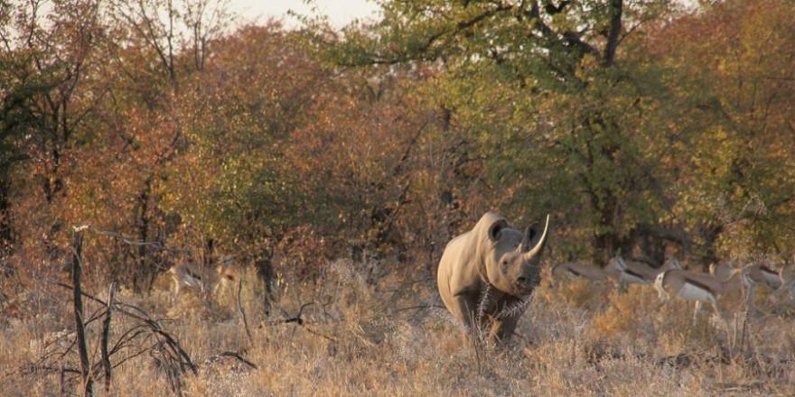 """""""Schutz von Nashörnern bedeutet für den, auf dessen Grund sie sich aufhalten, zuerst einmal eine akute Gefahr"""", sagt Danene van der Westhuyzen (NAPHA). (Quelle: Wunderlich/CIC/DJV)"""