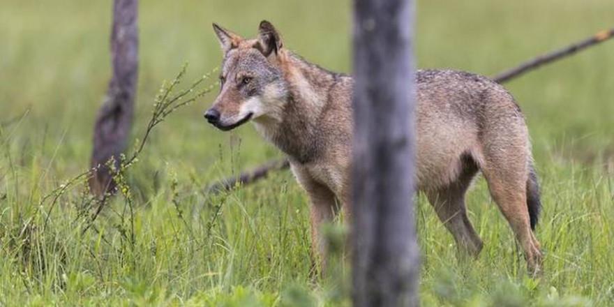 Bundestag beschließt die Änderung des Bundesnaturschutzgesetzes. Ein aktives Management fehlt weiterhin. Die Zahl der Wölfe steigt 2020 auf 1.800, Nutztierrisse nehmen zu. (Quelle: Rolfes/DJV)