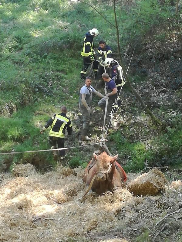 Mit Manpower, Traktor und einer Seilkonstruktion konnte der Bulle schließlich unverletzt geborgen werden (Foto: Freiwillige Feuerwehr Hennef)