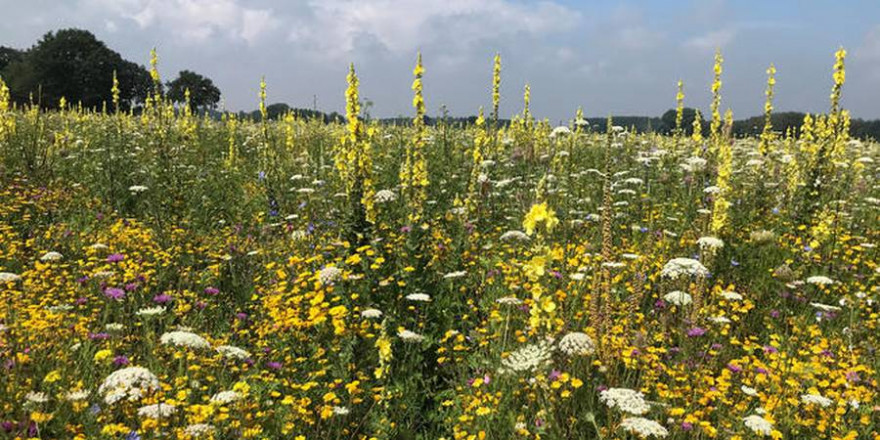 Maisalternative: Hohe Nachfrage bei mehrjährigen Wildpflanzen für die Biomasseproduktion. (Quelle: Aundrup/DJV)