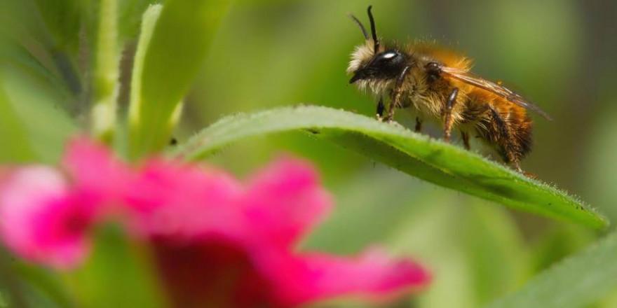 In Deutschland gibt es neben der Honigbiene 560 verschiedene Wildbienenarten, etwa die Hälfte davon ist bereits gefährdet. (Quelle: Richter/DJV)
