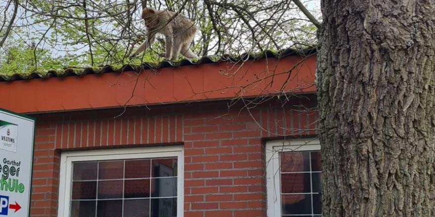 Einer der zwei Affen auf einem Hausdach (Foto: Polizei)