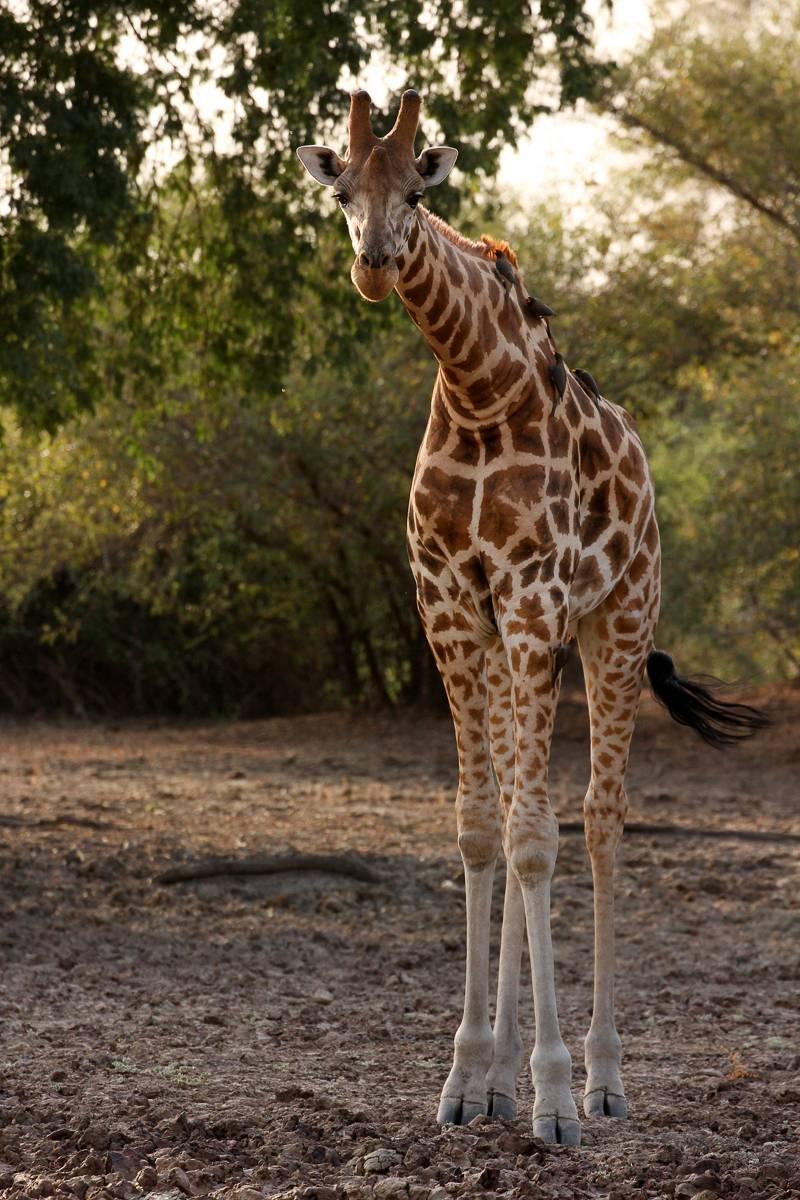 Die Kordofan-Giraffe ist eine von sieben Unterarten innerhalb der Giraffen. Ihr Erbgut haben Forscher nun erstmals entschlüsselt. (Foto: Fiona MacKay, Pretty Fly Photography)