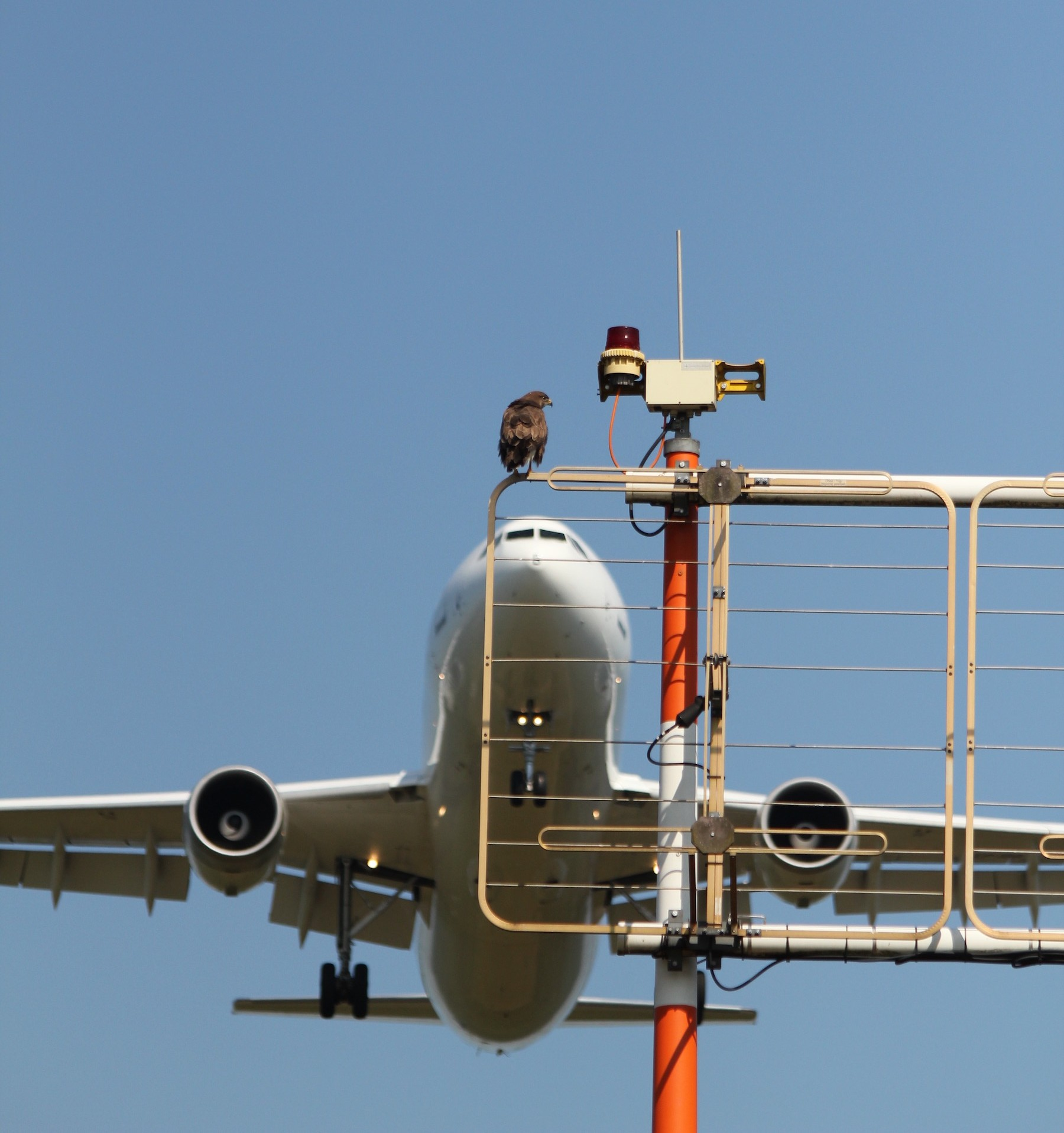Die auf dem Flughafengelände ständig lebenden Bussarde kennen sich mit Flugzeugen aus. Sie werden nur selten Opfer von Vogelschlägen