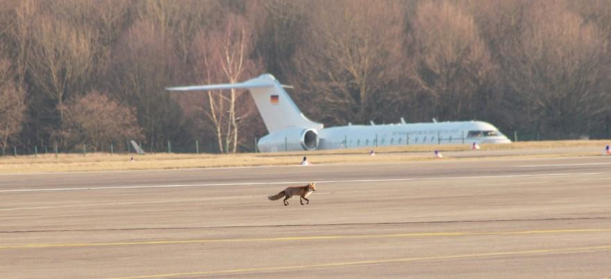 Ein Fuchs auf dem Köln-Bonner Rollfeld