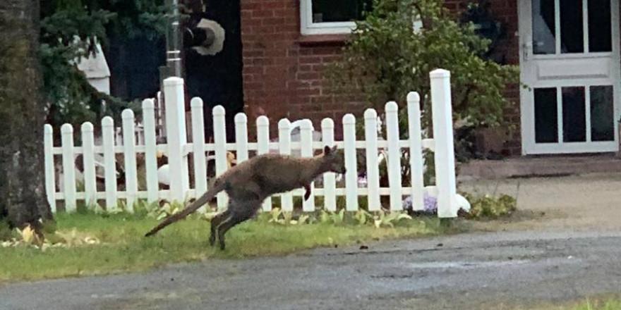 Das scheinbar herrenlose Känguru (Foto: Polizei)