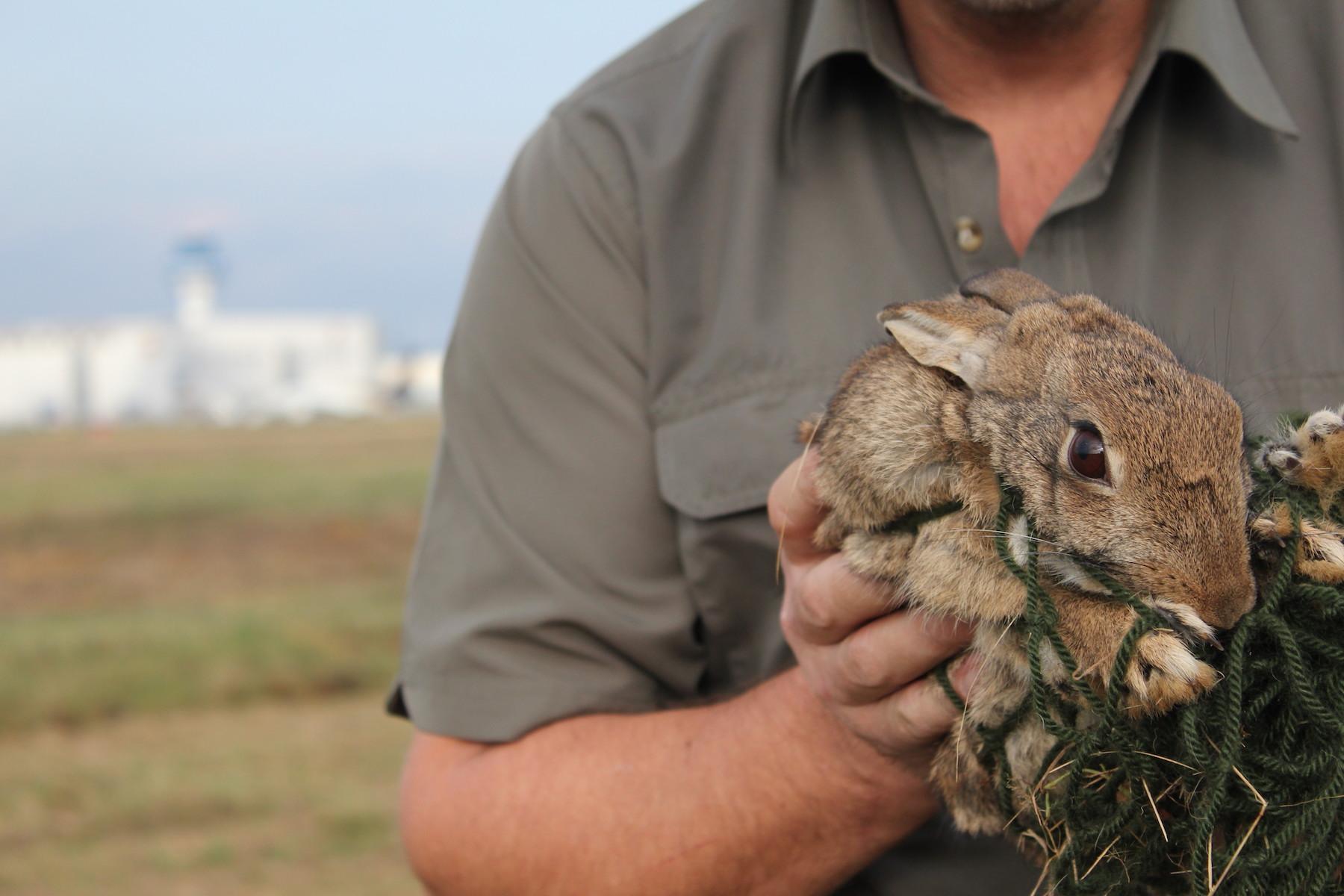 Der Lebendfang von Kaninchen mit Netzen bzw. Reusen ist aufwendig, aber effektiv