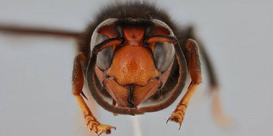 Die asiatische Hornisse ist für ihr aggressives Verhalten gegenüber Honigbienen bekannt (Foto: UHH/CeNak, Dalsgaard)