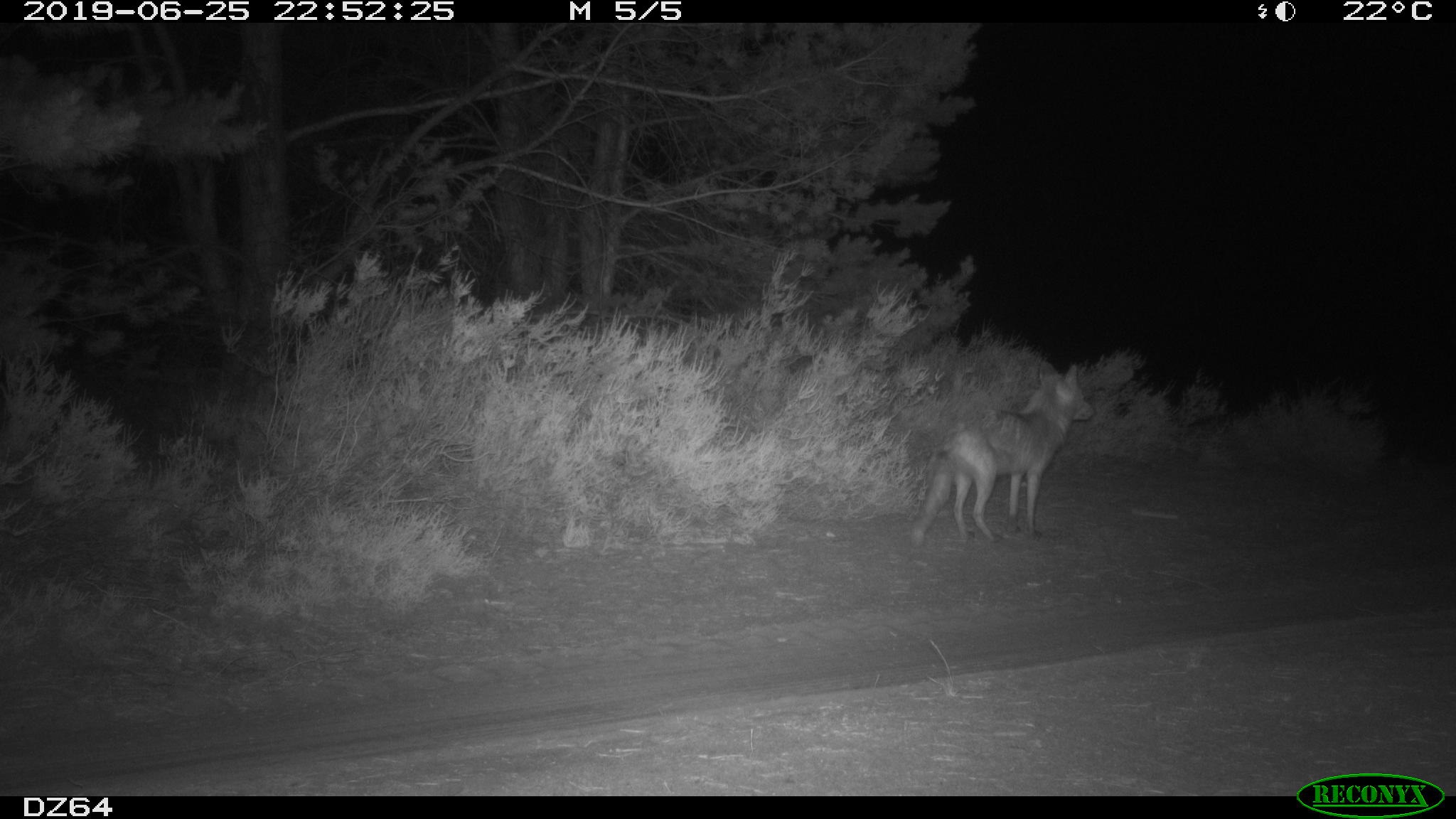 Abb. 2: Rotfuchs (Wildkamera: ©BImA/Bundesforst Lausitz)