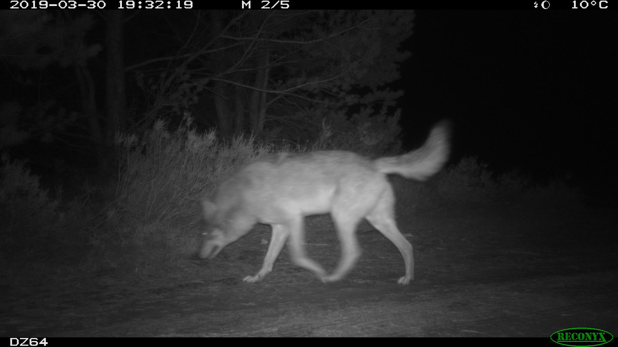 Abb. 3: Wolf (Wildkamera: ©BImA/Bundesforst Lausitz)