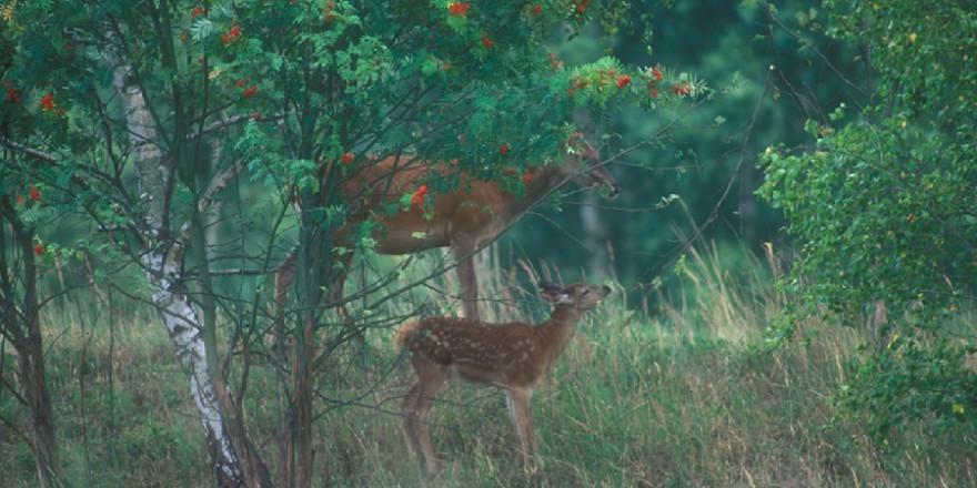Vogelbeeren gehören zu den beliebtesten Äsungspflanzen für unser Schalenwild – hier laben sich Alttier und Schmalspießer. (Foto: Wald&Wild)