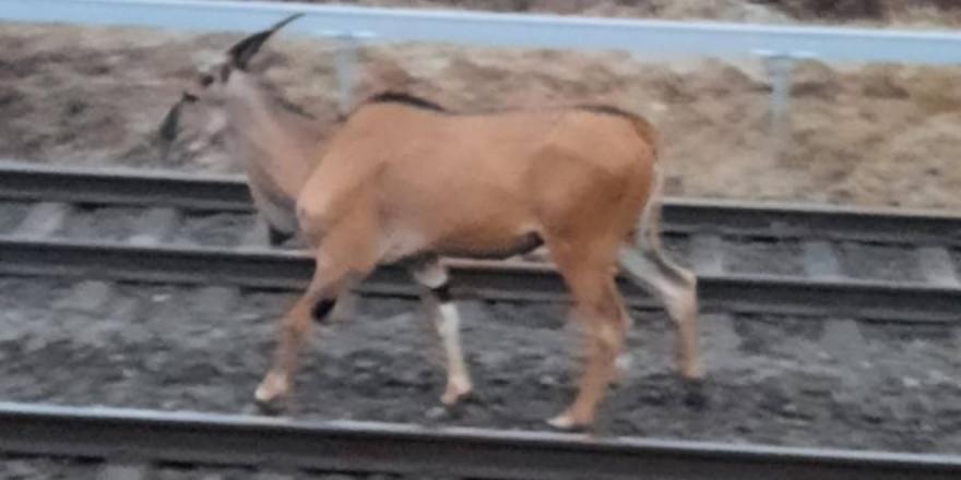 Der Antilopenbulle im Gleisbett der Bahn (Foto: Polizei)
