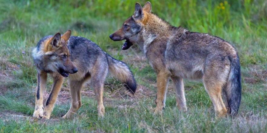 Wolfswelpen aus dem des Rudel Altengrabow in der Grenzregion Sachsen-Anhalt und Brandenburg. (Foto: Axel Gomille)