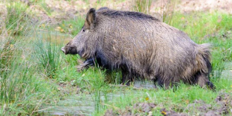 Fleisch vom Wildschwein ist eine Delikatesse. Das Netzwerk an Radiocäsium-Messstationen des BJV garantiert, dass in Bayern nur genusstaugliches Fleisch abgegeben wird. Foto: BJV/ M. Ritter