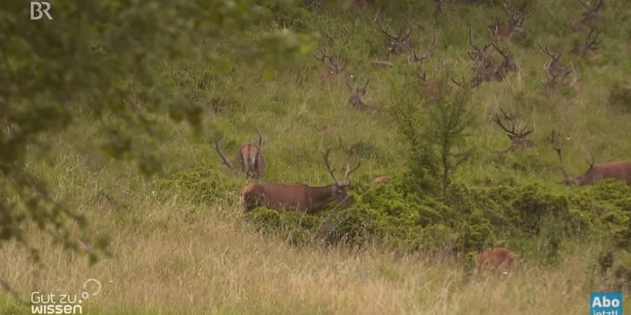 Der gelenkte Hirsch – Artenschützer und Landschaftspfleger (Quelle: Screenshot)