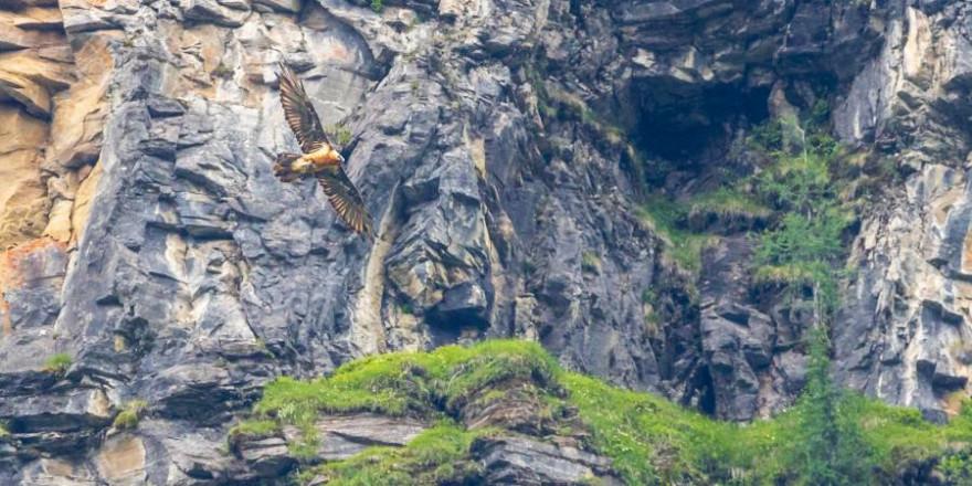 Ab dem Sommer wird ein Bartgeierpaar in Berchtesgaden wieder seine Kreise am Himmel ziehen. Die Jäger sorgen für beste Lebensbedingungen. (Foto: BJV/ M. Schütte)