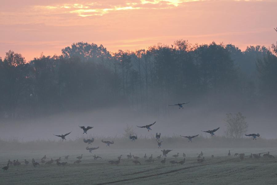 Graugänse im Morgennebel