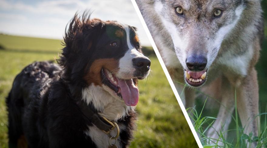 Berner Sennenhund und Wolf