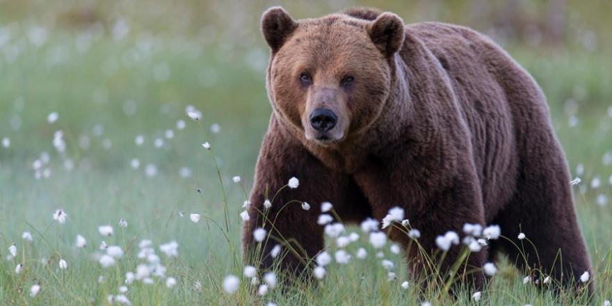 Der Bestand an Braunbären in Rumänien steigt seit Jahrzehnten kontinuierlich an und wird aktuell mit 8.300 Tieren beziffert. (Quelle: Rolfes/DJV)