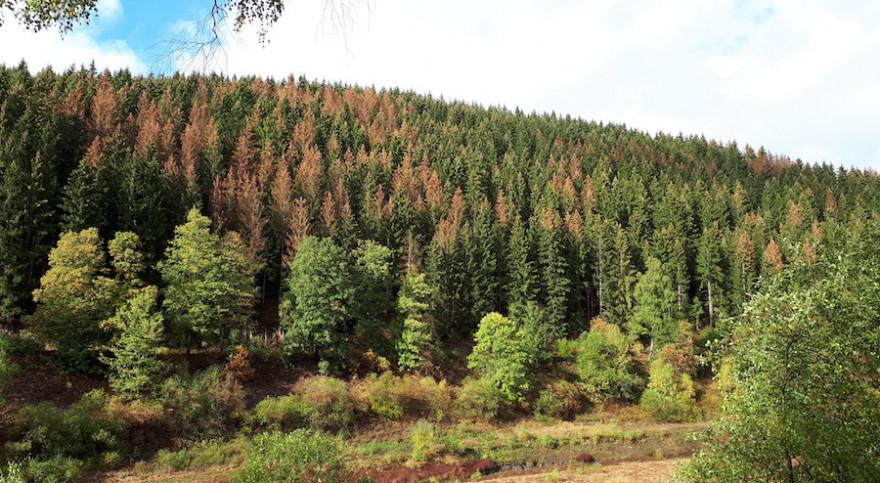 Vom Borkenkäfer befallene Fichten prägen das Landschaftsbild (Quelle: Niedersächsische Landesforsten).