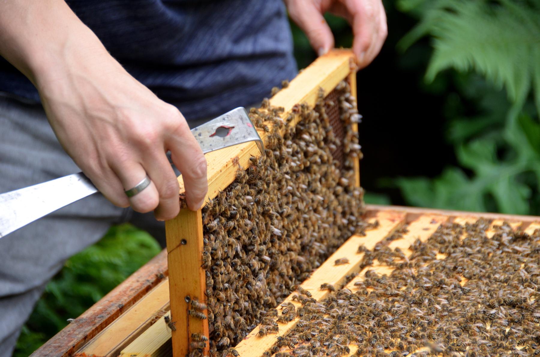 Vorsichtig entfernt Ralf Waanders eine Bienenwabe aus seinem Bienenstock, um sie zu begutachten.