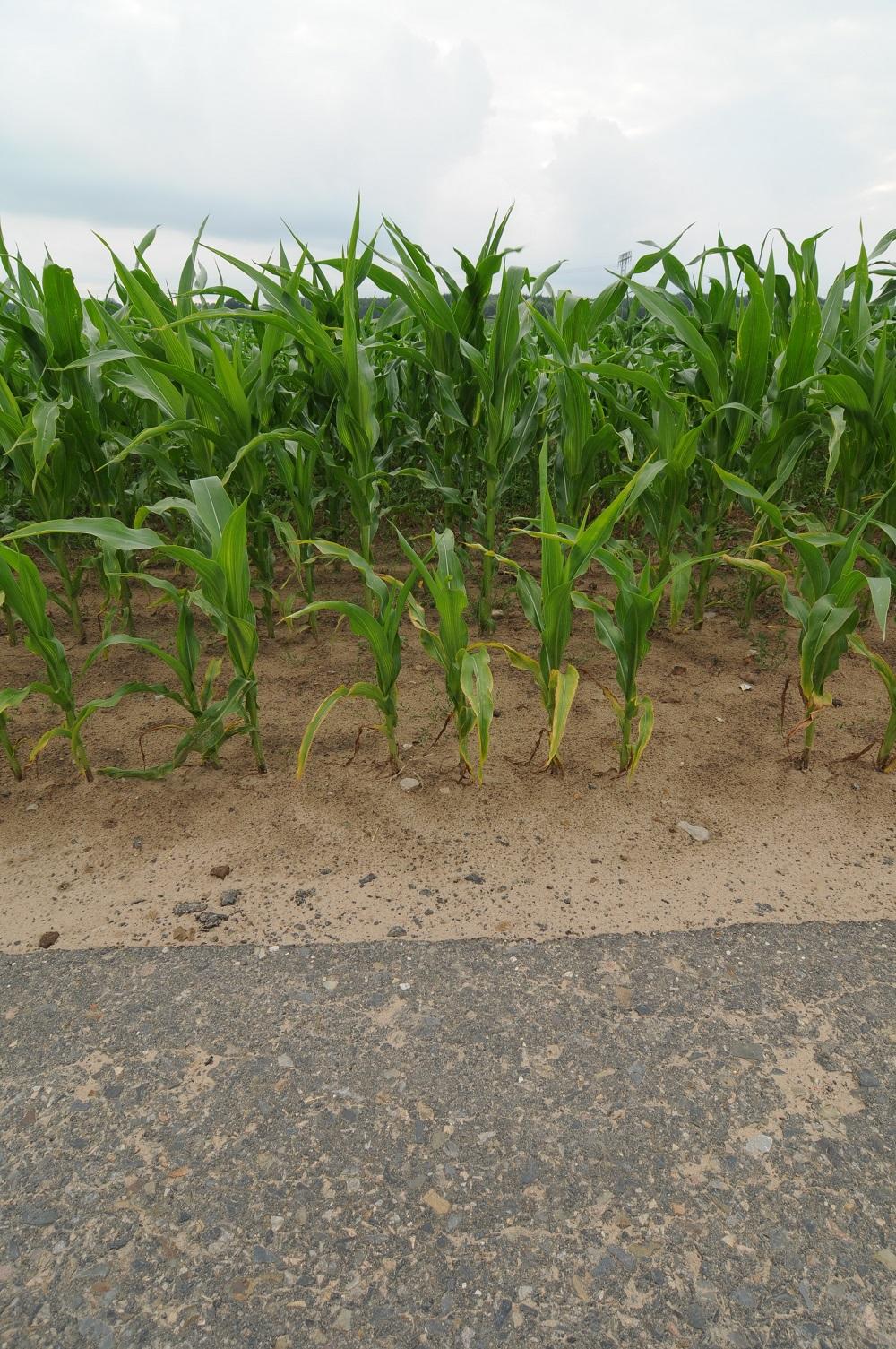 Auch dieses Maisfeld ist direkt bis an den Asphalt gepflanzt worden. (Foto: W&W)