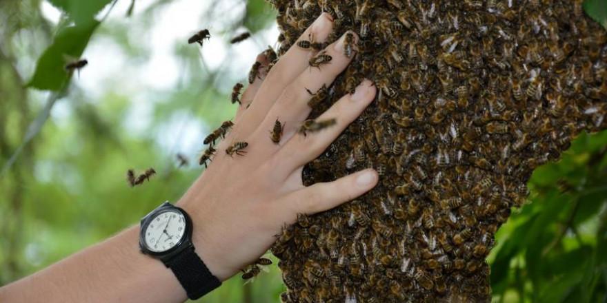 Den wehrhaften Honigbienen nahe kommen zu können, fasziniert Menschen seit jeher. (Foto: Deutscher Imkerbund e. V./Gerd Ullinger)