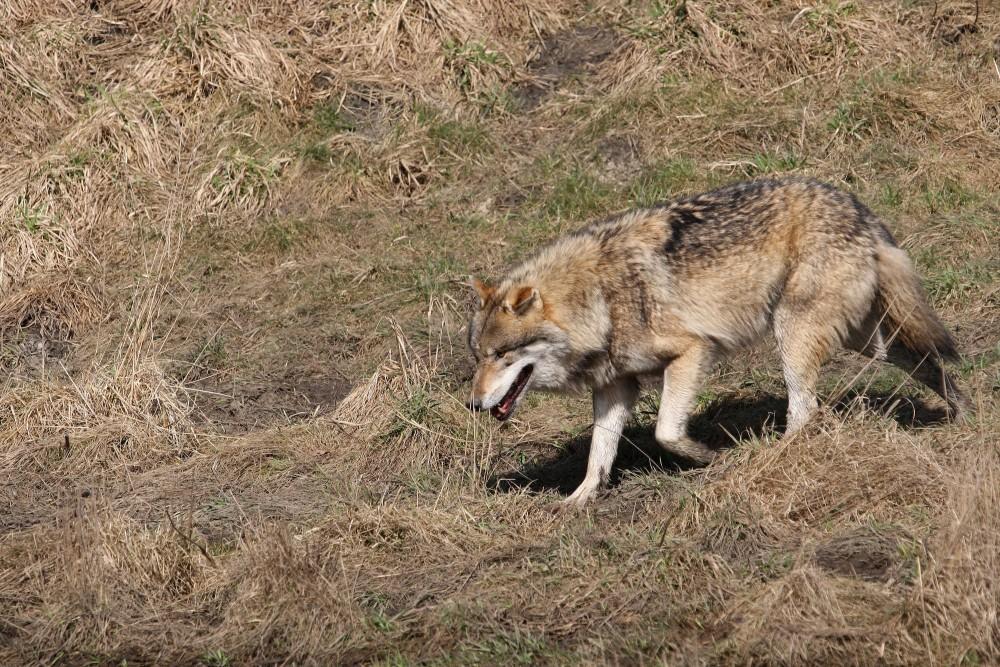 Ziehender Wolf