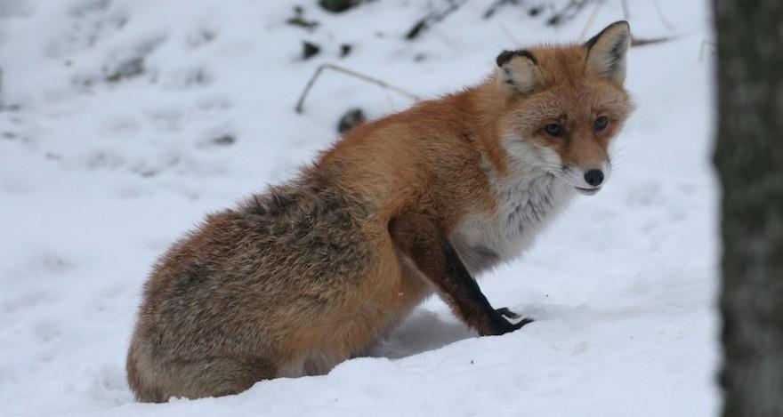 Ein kranker Fuchs mit Räude im Endstadium.