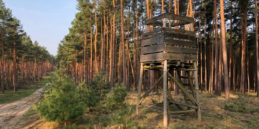 Ein Drückjagdbock im Kiefernwald.