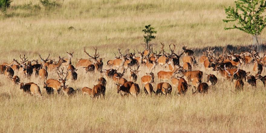 Durch die Beweidung mit Rothirschen bleiben ökologisch wertvolle Offenlandlebensräume mit streng geschützten Arten erhalten (Foto: Marcus Meißner/Institut für Wildbiologie).