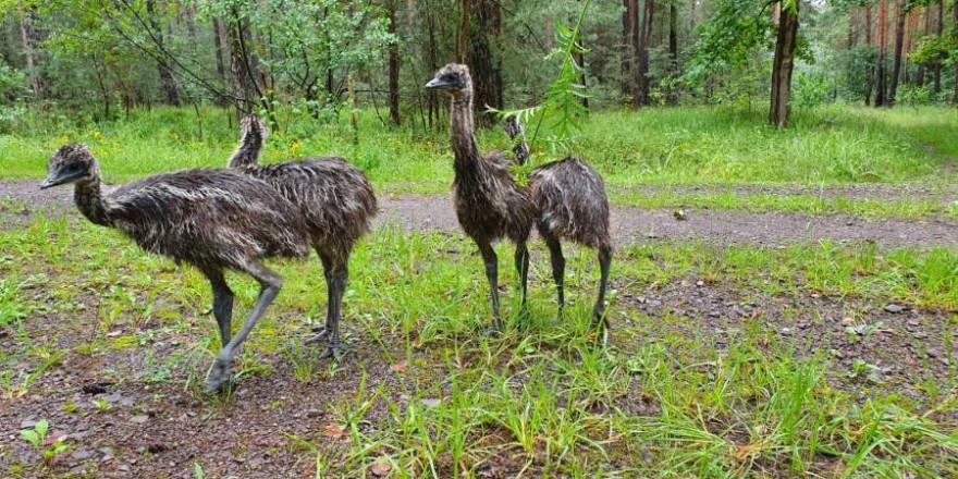 Die vier jungen Emus (Foto: Polizei)