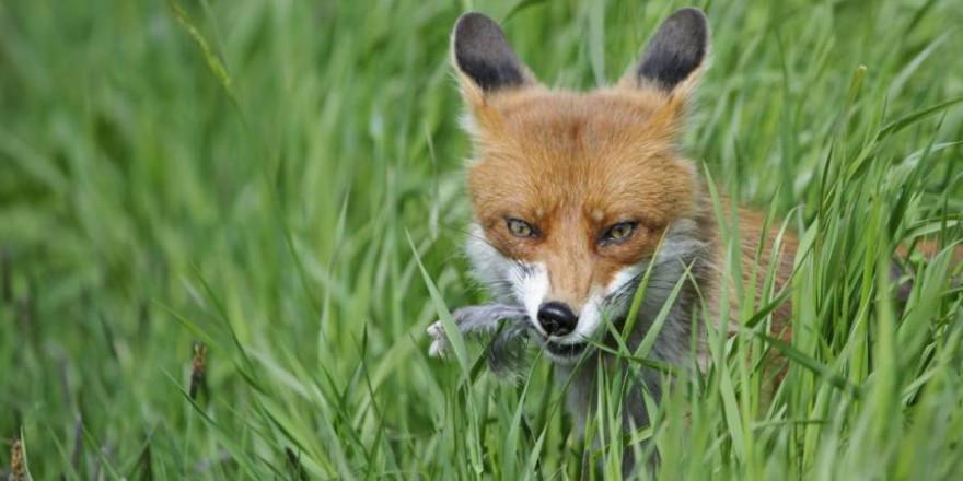 Die Fuchsjagd ist wichtig, um Wiesenbrüter zu schützen. (Quelle: Rolfes/DJV)