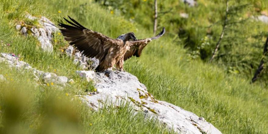 Bavarias erster Ausflug in Freiheit. Hier mit ausgebreiteten Flügeln auf einem Felsen sitzend (Foto: Richard Straub/LBV)