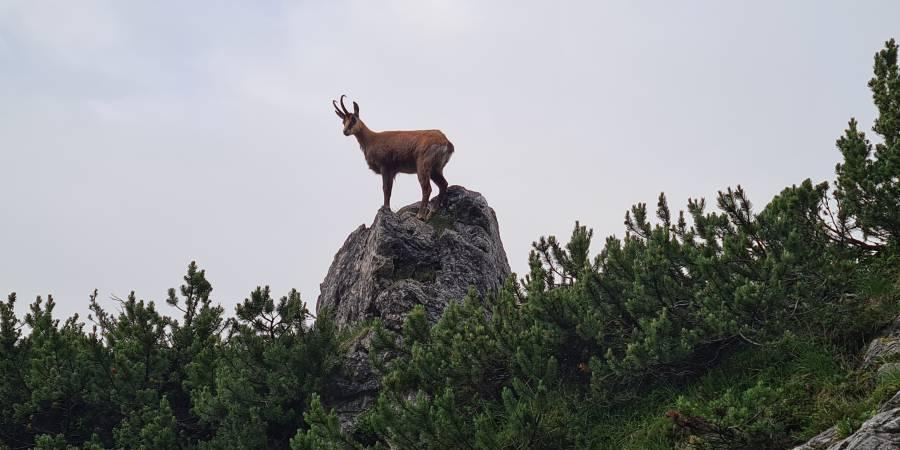 Vertrauter Gamsbock in den Bayerischen Alpen. Werden die fraglichen neuesten Forschungsergebnisse zur Berechnung der Abschusspläne herangezogen, könnte dies ein noch seltenerer Anblick werden. (Foto: BJV/ Thomas Huber)