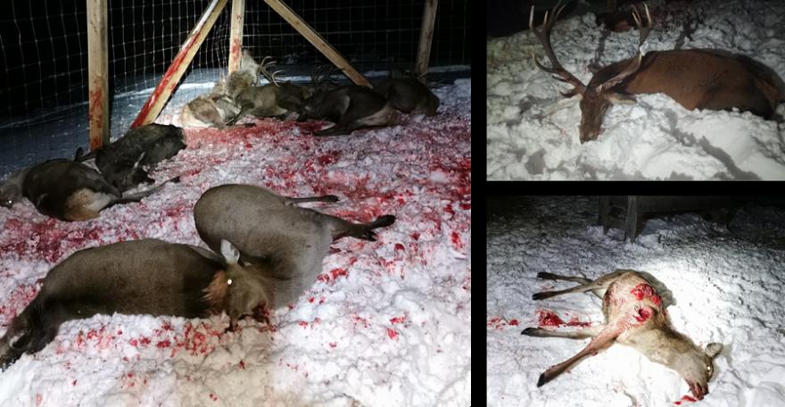 """45 Minuten dauerte das Gemetzel im """"Tötungsgatter"""". Einige Stücke weisen gebrochene Äser auf, da sie wahrscheinlich in Panik versuchten durch den Zaun zu flüchten und sich dabei verletzten. (Fotos: Gemeinde Kaisers/Tirol)"""