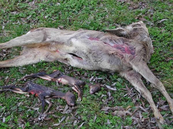 Leider sind es oftmals hochbeschlagene Ricken oder unerfahrene Jungtiere, die im Frühjahr wildernden Hunden zum Opfer fallen. Diese Rehgeiß, die kurz vor dem Setzten stand, wurde in Bayern gerissen und hatte in ihrem Zustand keine Chance, dem Hund zu entkommen (Foto: BJV)