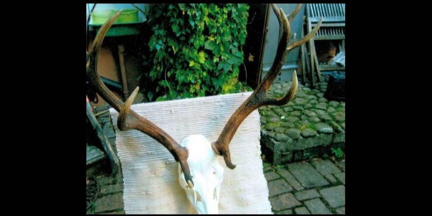 Das Geweih des Hirsches, dem nach der Hegeschau die Unterkieferhälften fehlten (Foto: privat)