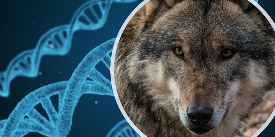 DNA-Analysen lassen immer wieder die Frage aufkommen, wieviel Wolf eigentlich in den europäischen Wolfsbeständen vorhanden ist.