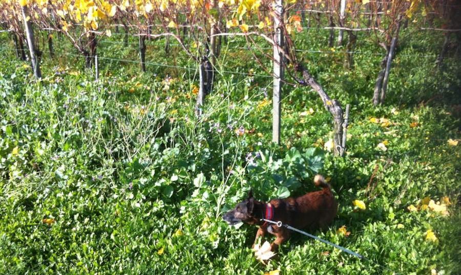 Wildpflanzen dienen nicht nur als Gründünger, sie schmecken auch dem Wild und lenken von den Trauben ab.