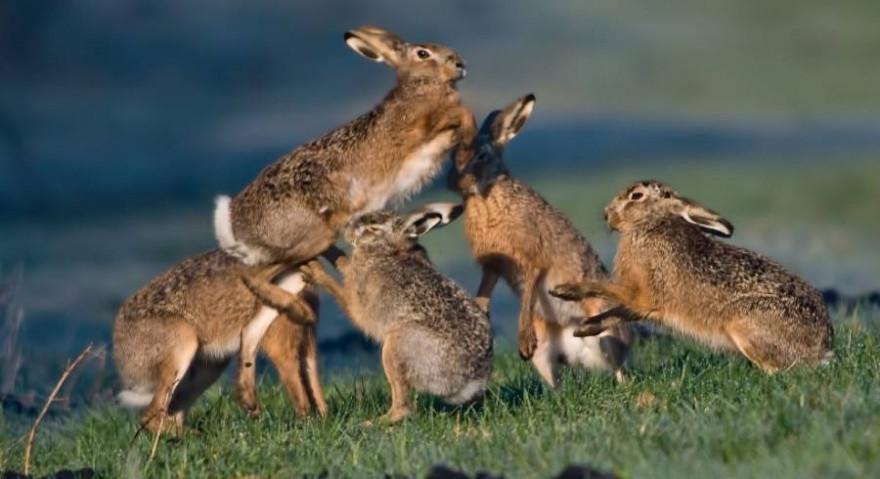Fünf Hasen auf einer Wiese (Foto: Erich Marek)