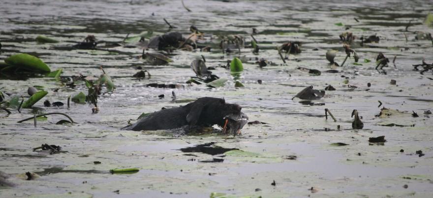 Der Hund hat die Ente und ist auf dem Rückweg zu seinem Führer.